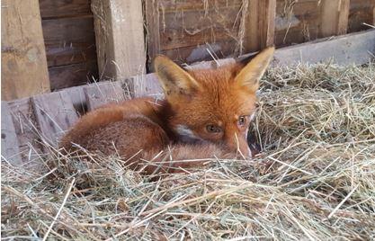 Fox lying on bed of straw in barn
